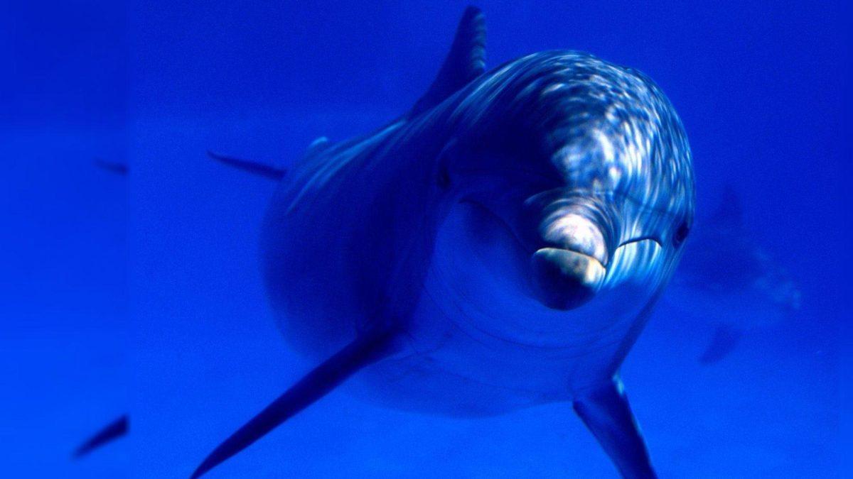 Download Dolphin Desktop Wallpaper   Full HD Wallpapers