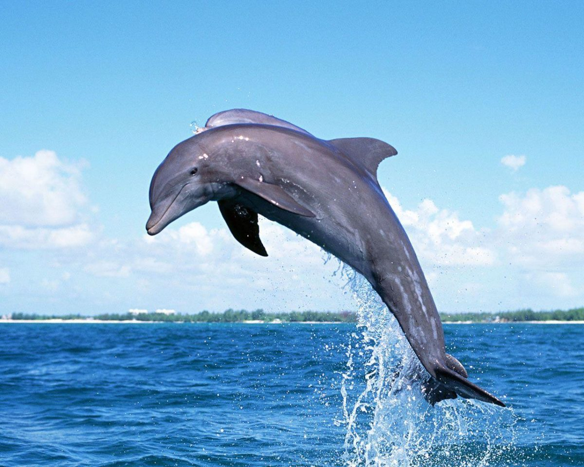 Dolphin Wallpaper   home plans