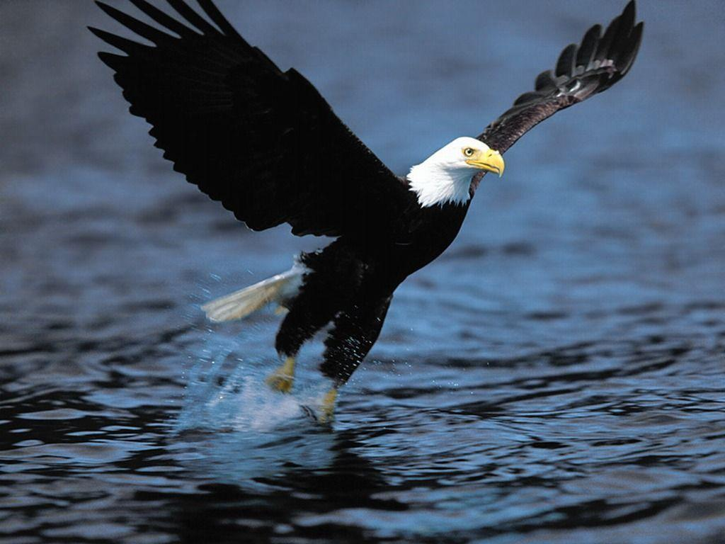 Bald Eagle Desktop Wallpapers | Bald Eagle Birds Wallpapers | Cool …
