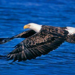 download Bald Eagle Desktop Wallpapers   Bald Eagle Birds Wallpapers   Cool …