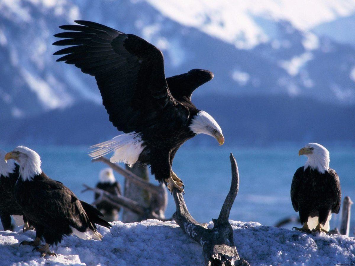 Animals : Pretty Animals Wings Extended Bald Eagles Desktop Image …