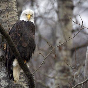 download eagles Wallpaper