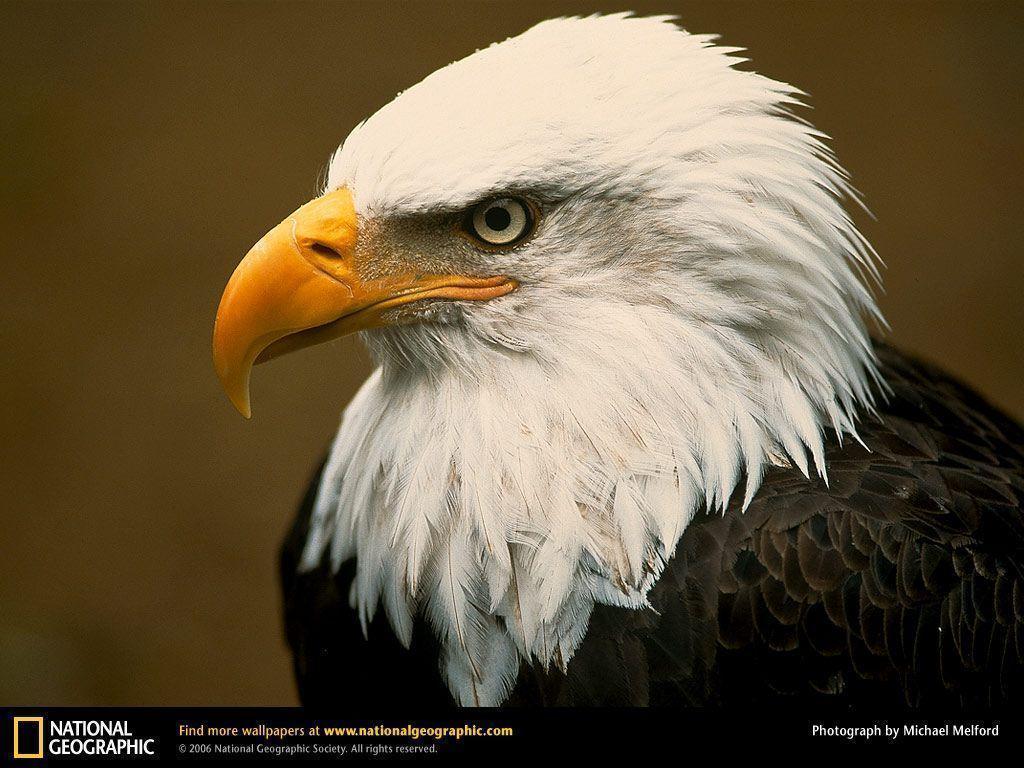 Bald Eagle Picture,Bald Eagle Desktop Wallpaper, Free Wallpapers …