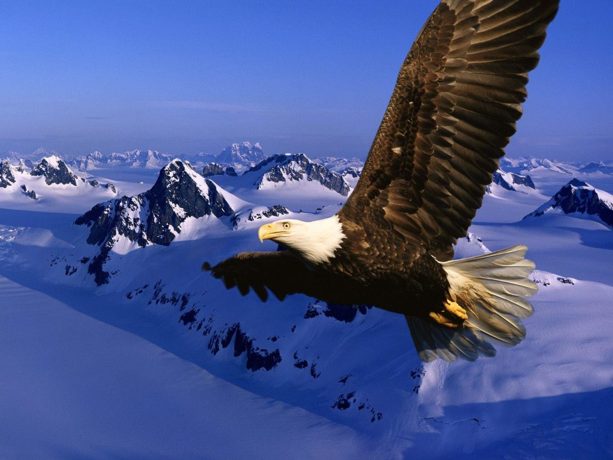 Bird backgrounds with eagles – Barbaras HD Wallpapers