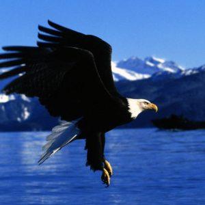 download Bald Eagle Desktop Wallpapers | Bald Eagle Birds Wallpapers | Cool …