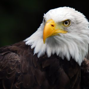 download Wallpapers For > 3d Wallpaper Hd Eagle