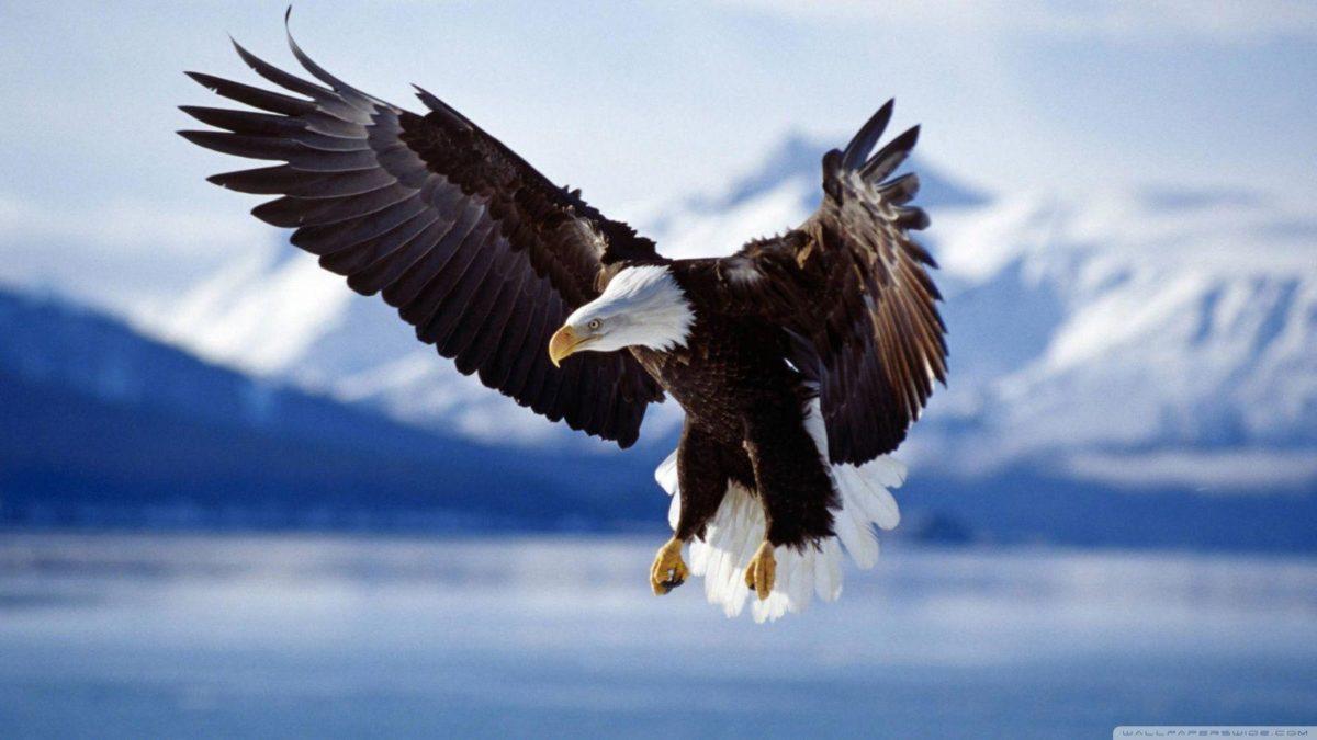 Bald Eagle HD desktop wallpaper : Widescreen : High Definition …