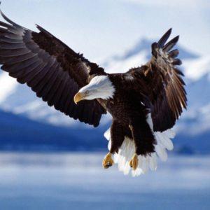 download Bald Eagle HD desktop wallpaper : Widescreen : High Definition …