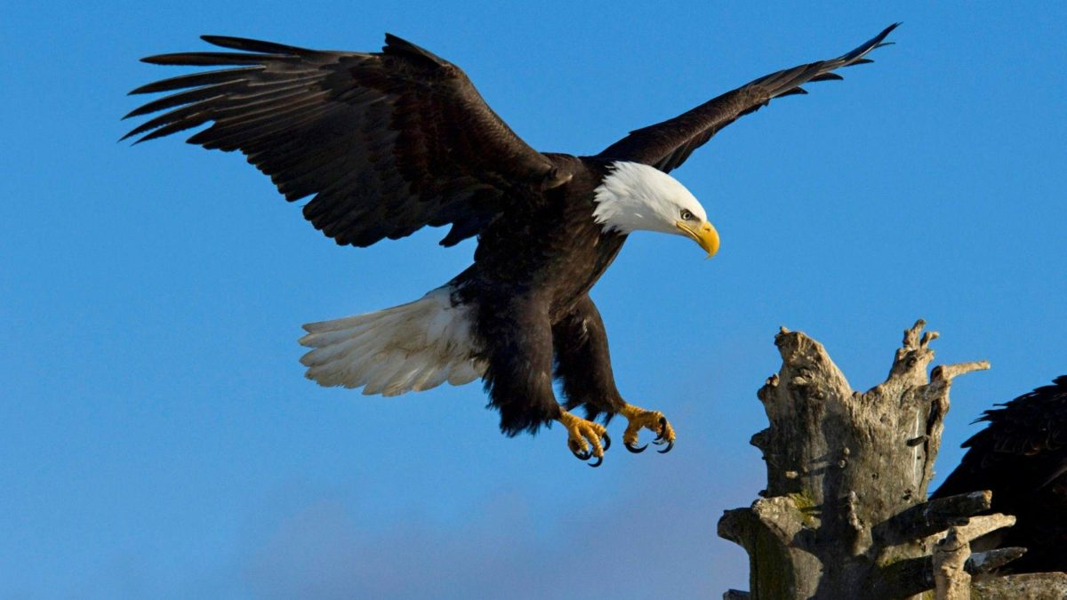 328 Eagle HD Wallpapers | Backgrounds – Wallpaper Abyss