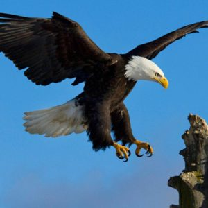 download 328 Eagle HD Wallpapers | Backgrounds – Wallpaper Abyss
