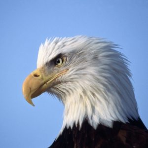 download Eagle Wallpapers Free Download Group (89+)