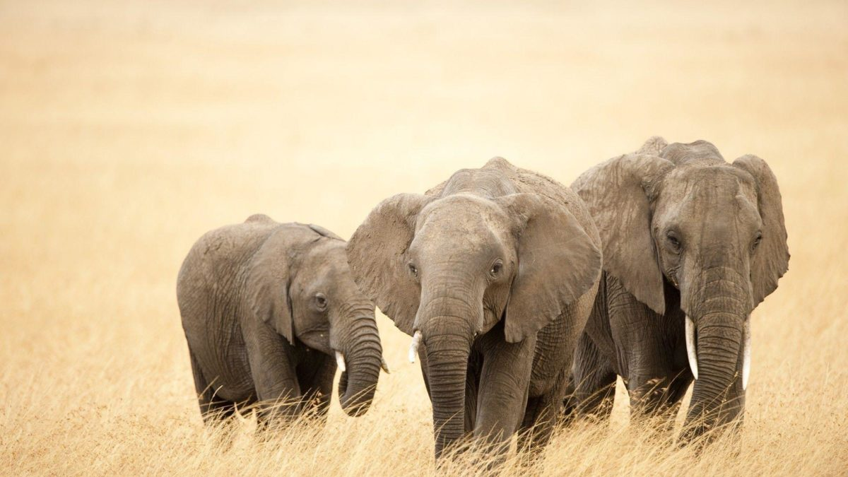 Elephant Wallpaper – Animal Wallpapers (7120) ilikewalls.