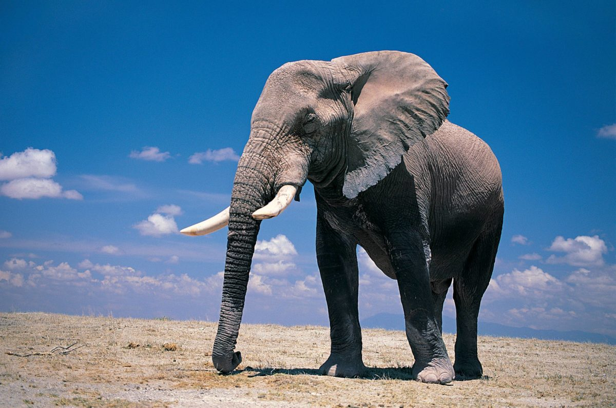 Wallpapers For > Elephant Wallpaper