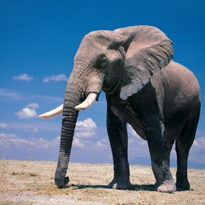 download Wallpapers For > Elephant Wallpaper