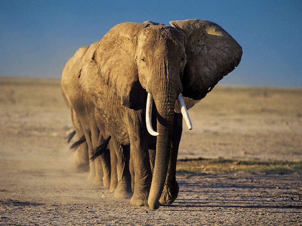 Elephant Wallpaper – Animal Wallpapers (7109) ilikewalls.
