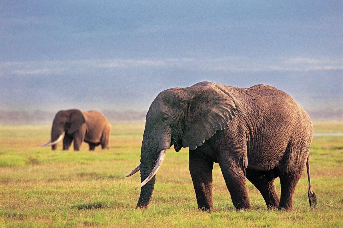 Elephant Wallpaper – Animal Wallpapers (7267) ilikewalls.