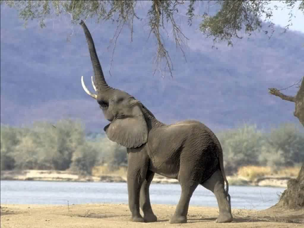 Wallpapers For > Elephant Wallpaper Free Download