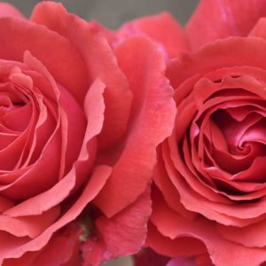 download Free rose wallpapers download – Wallpapers Daddy