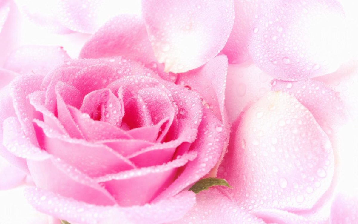 Cute Pink Roses Wallpapers 1440x900PX ~ Wallpaper Free Rose #90701