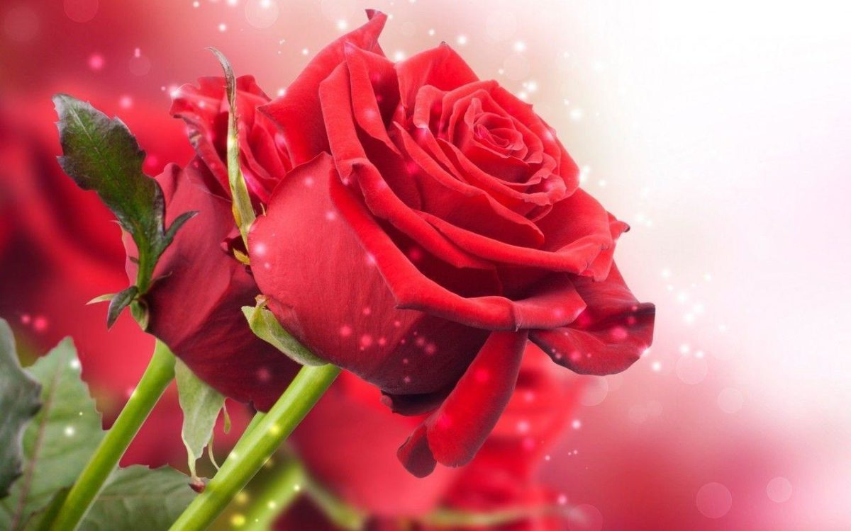 New Red Roses Hd Wallpaper Free Download Nature 1280x800PX …