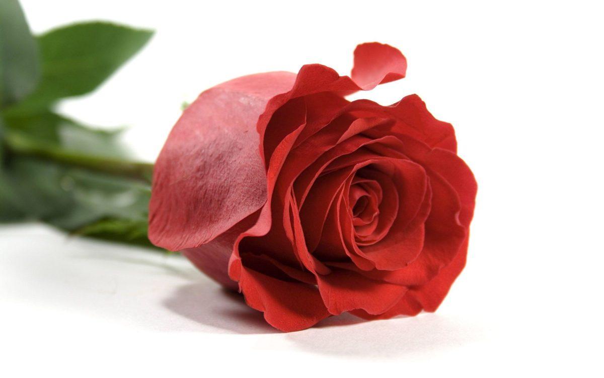 Rose Wallpaper 5525 2560×1600 px ~ FreeWallSource.