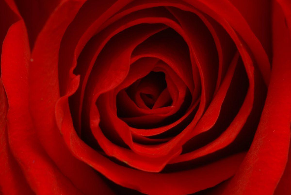 Flower Rose Wallpaper Flower Rose Wallpapers Flower Rose Wallpaper …
