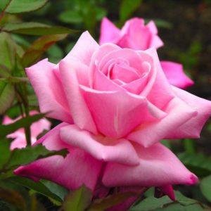 download rose wallpaper | rose wallpaper – Part 16