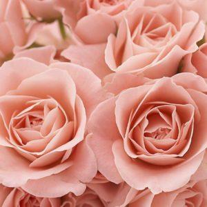 download Pink Roses Wallpaper | Wallpaper Color