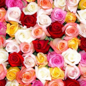 download Colorful Roses Wallpaper HD – Rose Day – All Day Images