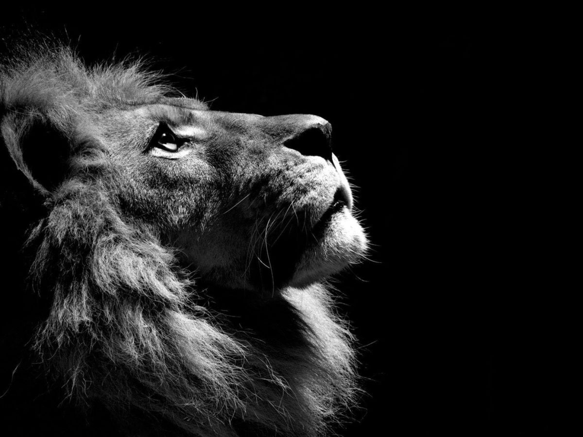 download black and white lion wallpaper – flipped | Images And …