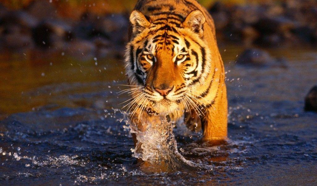 Top Desktop Bengal Tiger Wallpapers Hd Full Size Image …