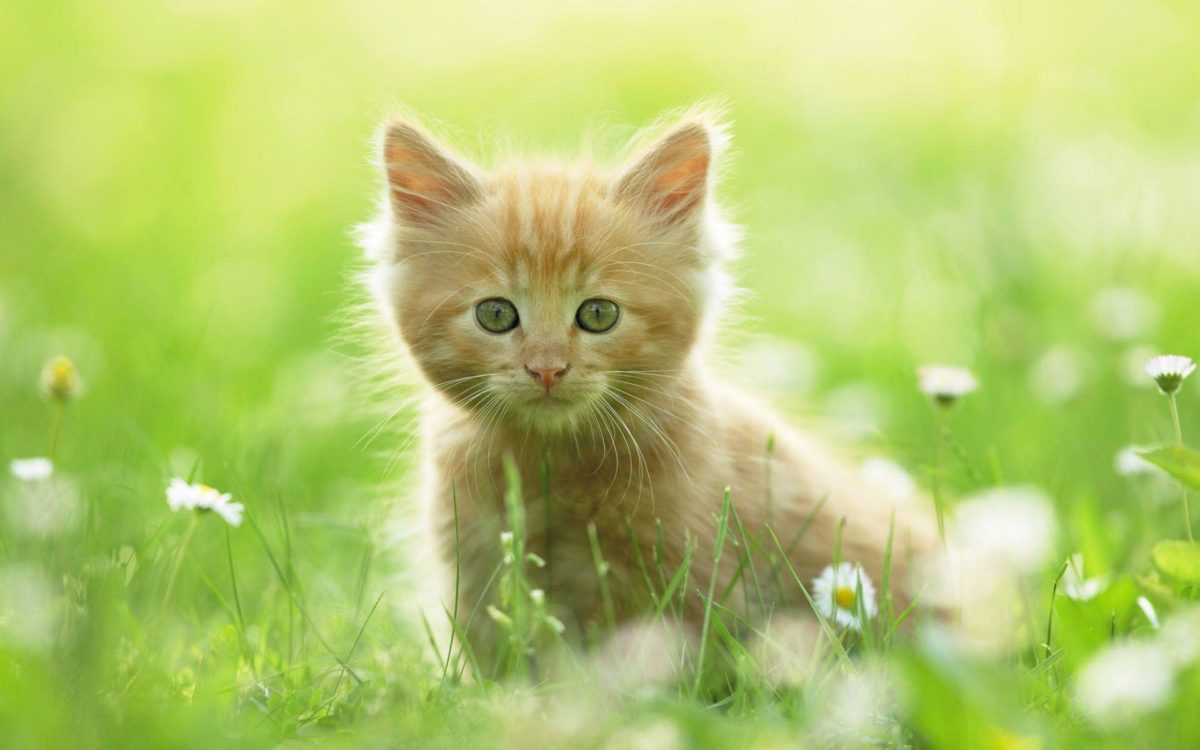 Cute Kitten Wallpapers | HD Wallpapers