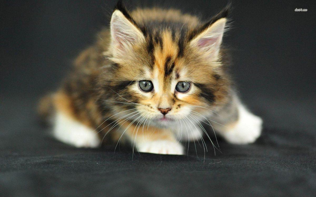 Cute Kitten wallpaper – Animal wallpapers – #