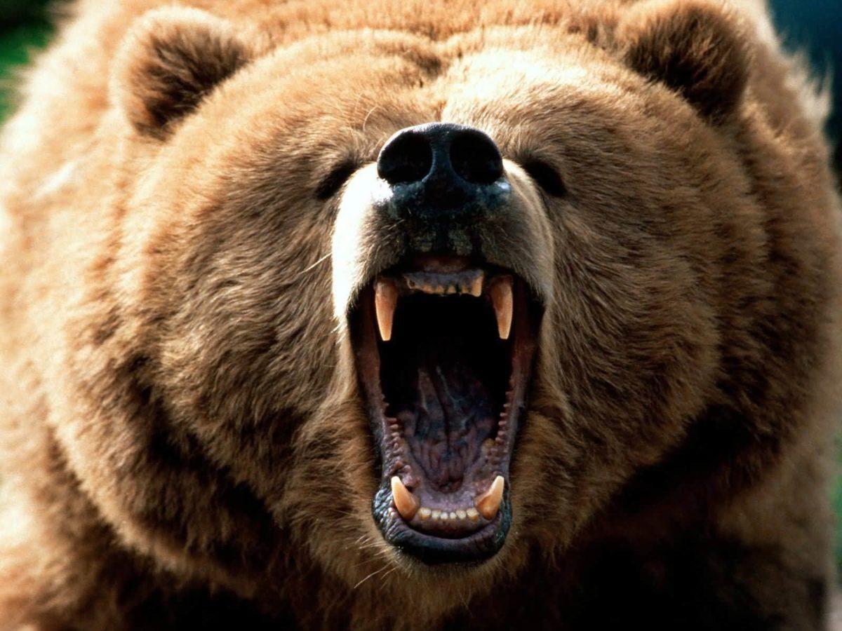 Grizzly Bear Desktop wallpapers – HD Wallpapers Inn