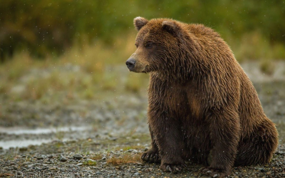 grizzly bear sits and watches free background.