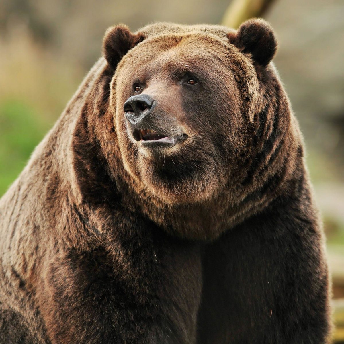 Grizzly Bear Portrait / HD iPad Wallpapers