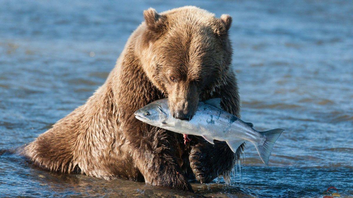 Bear Grizzly Bear Fish wallpaper | 1920×1080 | 120920 | WallpaperUP