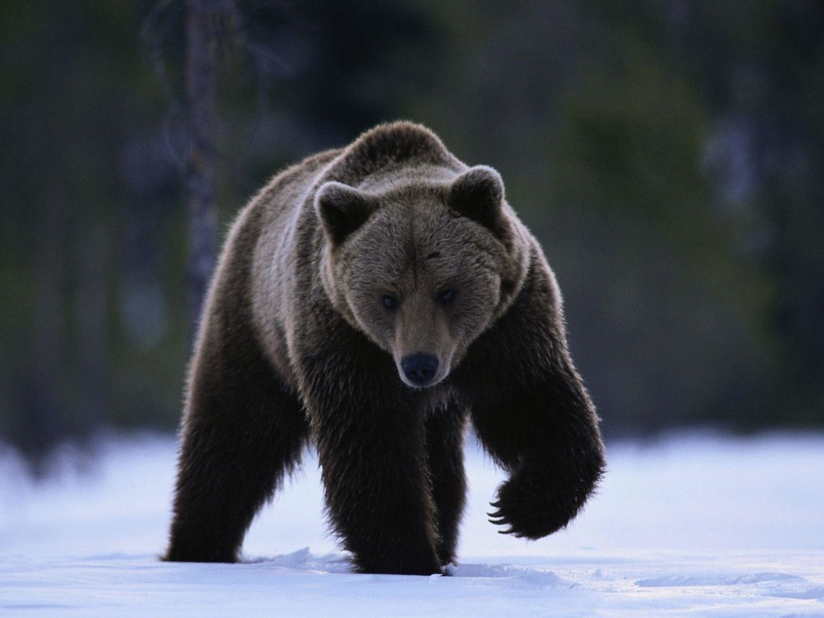 Grizzly Bear Running in the Snow Free Stock Photo and Wallpaper