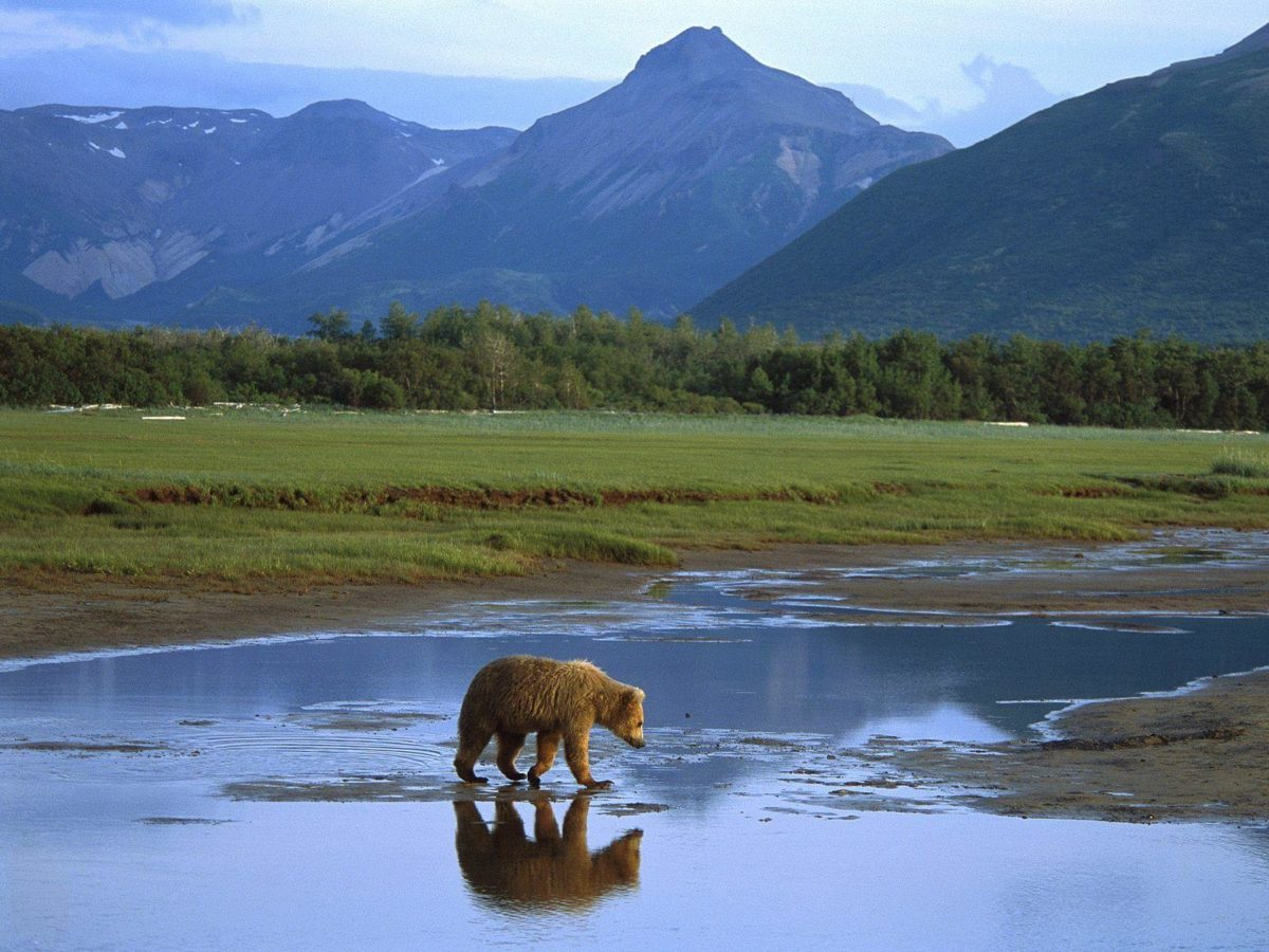Grizzly-Bear-HD-Wallpaper-6 – Animals Planent.