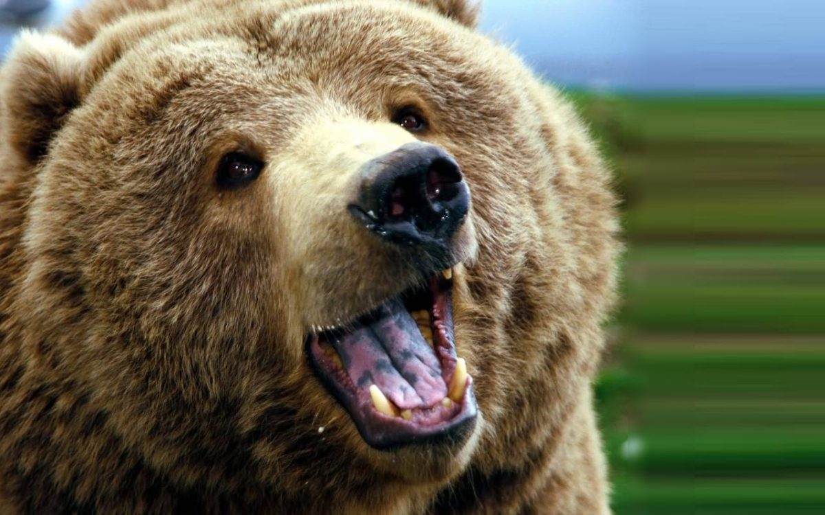 Download Grizzly Bears High Definition Wallpaper 1280×800 | Full …