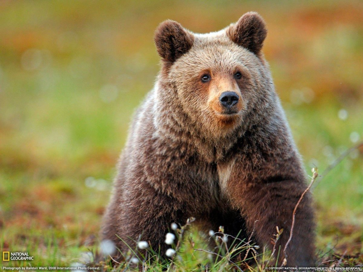 Grizzly Bear Wallpaper | High Definition Wallpapers, High …