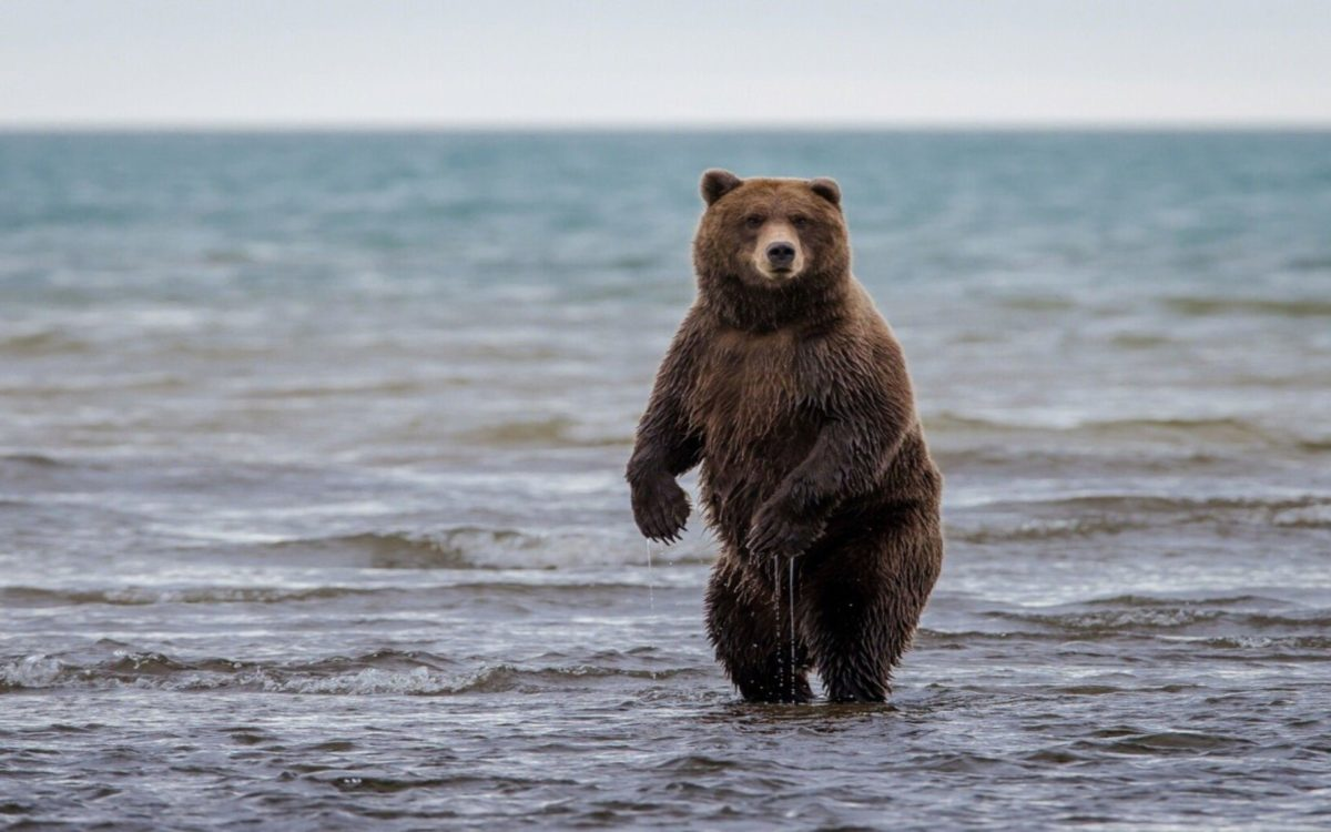 grizzly bear free background.
