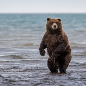 download grizzly bear free background.