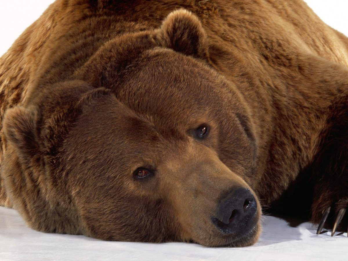 Wallpapers with grizzly bears – Barbaras HD Wallpapers