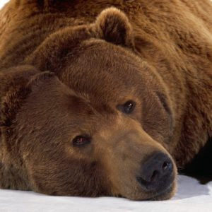 download Wallpapers with grizzly bears – Barbaras HD Wallpapers