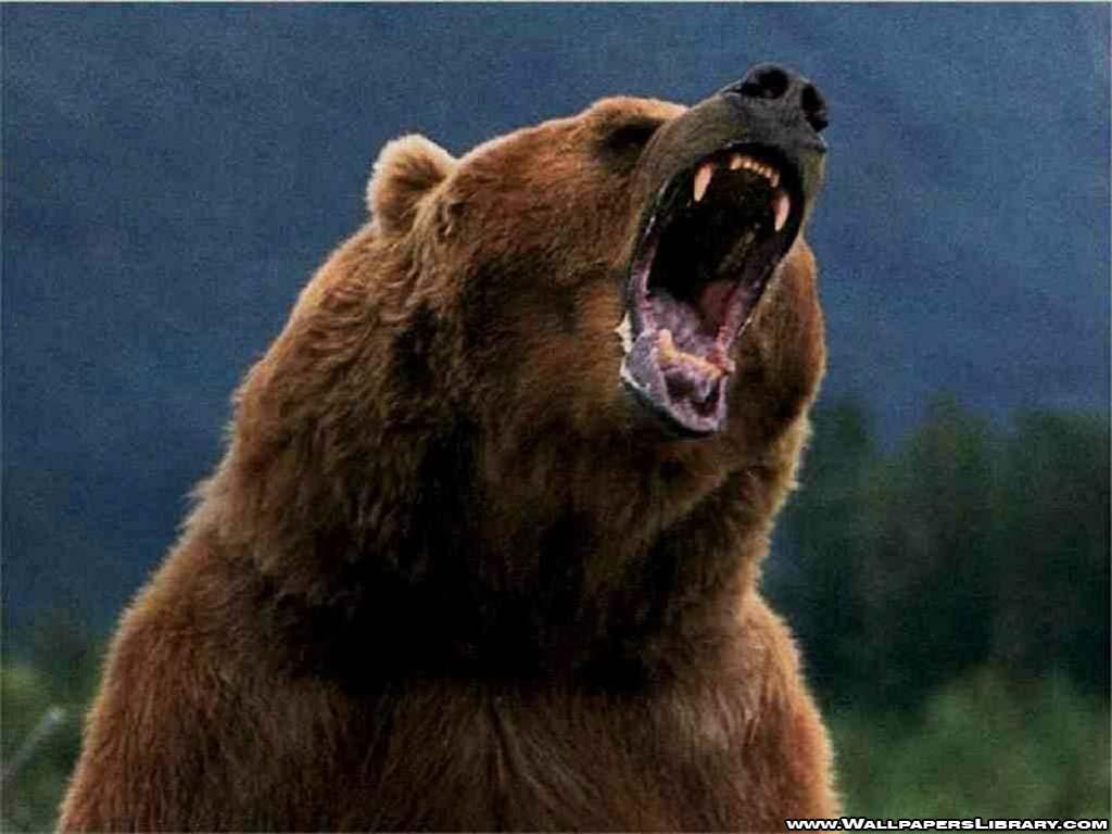 Wallpapers For > Grizzly Bear Roar Wallpaper