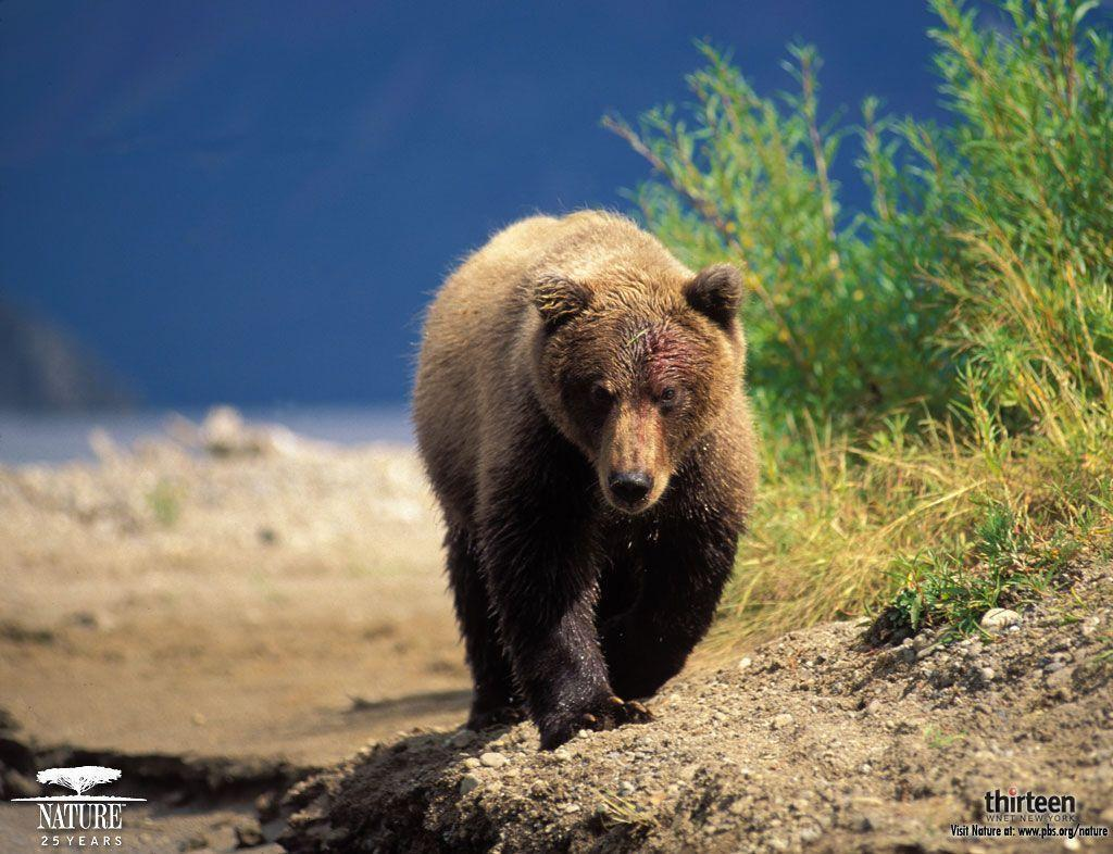 grizzly bear wallpaper – Animal Backgrounds