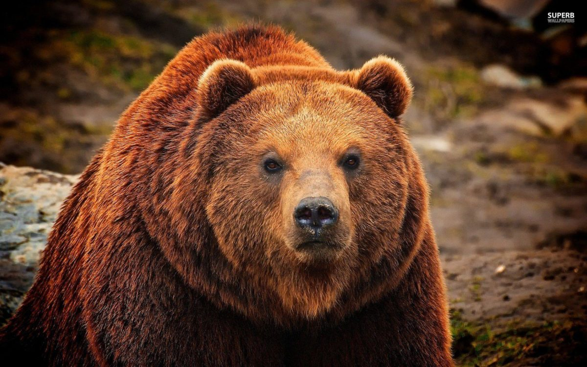 Grizzly Bear Computer Background | Animal HD Wallpapers