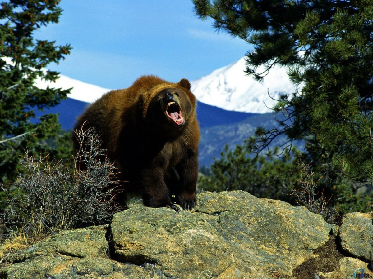 Page 888 | Grizzly bear wallpaper hd hdwallpapers , Grizzly bear …