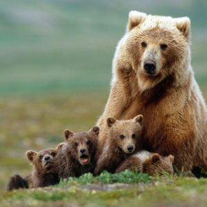 download Animals For > Baby Grizzly Bear Wallpaper